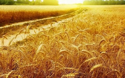 Goldencrop